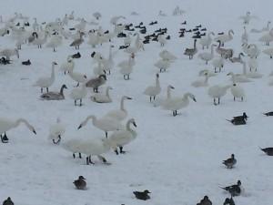 白鳥だらけの湖です。