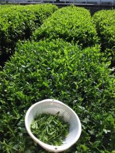 お茶の新芽は、目にも鮮やかなグリーンでした。