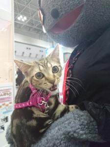 プチにゃんに遊びに来てくれたお散歩猫ちゃん。あれ、Bijuねえの胸でご機嫌斜め!?