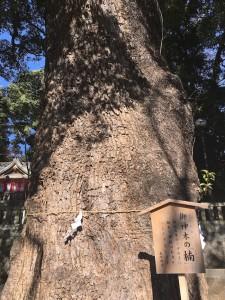 神社の御神木は、樹齢850年の楠。青空に向かって、堂々と立っています。