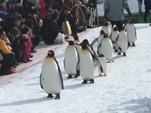 冬の名物「ペンギンのお散歩」。ペンギンが園内を、行進します☆