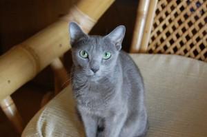 ウランたん。「幻の猫」といわれるくらい恥ずかしがり屋で、滅多に人前に姿をあらわさない子でした。