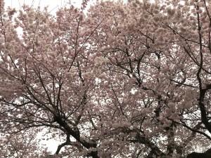 京都の桜は、東京よりもピンク色が濃い気がします。