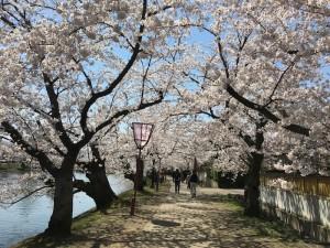 桜並木。夜、ライトアップされたら、幻想的な雰囲気になるそう。