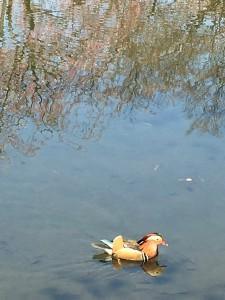 弘前城のお堀を優雅に泳ぐ色鮮やかな鳥さん。水面に桜が映って、綺麗です。