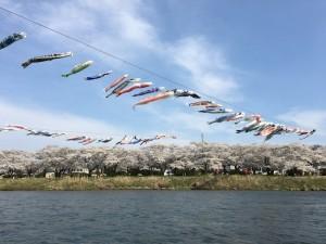 北上展勝地では、遊覧船に乗りました。こいのぼりと桜が同時に見られるのって、関東では考えられないですね☆