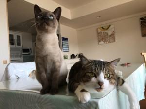 仲良くテーブルの上に並んで、リラックスしている2匹。左が子猫、右が先住猫。