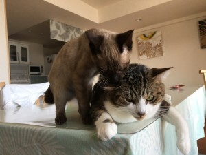 ガブッ! いきなり先住猫に噛み付く子猫。これは、痛そー。