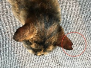 桜の花びらみたいだから、「さくら猫」。外ネコさんが避妊手術をしたマークです。